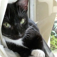 Domestic Shorthair Kitten for adoption in Sunny Isles Beach, Florida - Morgan