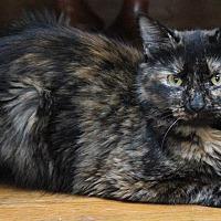 Adopt A Pet :: Jocelyn - Sykesville, MD