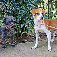 Jack Russell Terrier Mix Dog for adoption in Allentown, Pennsylvania - Copper and Sheva are reduced!!