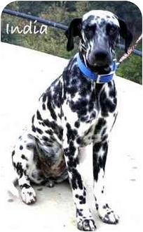 Dalmatian Dog for adoption in Mandeville Canyon, California - India