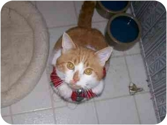 Domestic Shorthair Cat for adoption in mishawaka, Indiana - Cresswell
