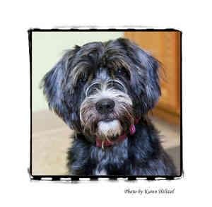 Schnauzer (Standard) Mix Dog for adoption in Warren, Pennsylvania - Junior