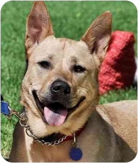 Australian Cattle Dog/German Shepherd Dog Mix Dog for adoption in Los Angeles, California - Molly