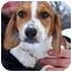 Photo 2 - Beagle/Basset Hound Mix Puppy for adoption in Osseo, Minnesota - Henry