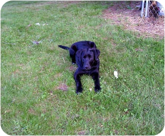 Labrador Retriever/Hound (Unknown Type) Mix Puppy for adoption in Floyd, Virginia - Saturday