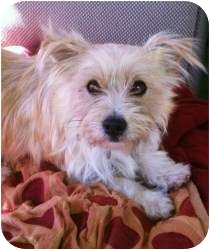 Terrier (Unknown Type, Medium) Mix Dog for adoption in Encino, California - Tanner