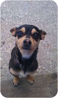 Chihuahua/Dachshund Mix Puppy for adoption in San Diego, California - Minnie Mouse