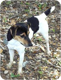 Rat Terrier Mix Dog for adoption in Bandera, Texas - Cloee