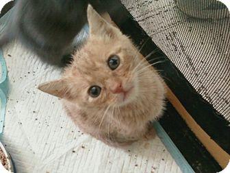 American Shorthair Kitten for adoption in Whitestone, New York - Justin and Jeremy