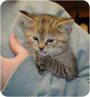 Domestic Shorthair Cat for adoption in Owatonna, Minnesota - Marmalade