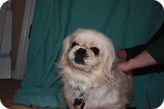 Pekingese Dog for adoption in Oklahoma City, Oklahoma - Snow White