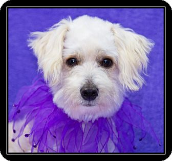 Maltese/Poodle (Toy or Tea Cup) Mix Dog for adoption in Fort Braff, California - Dolly