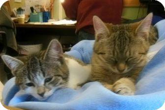 Domestic Shorthair Kitten for adoption in Sanford, Maine - Kittens