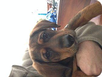 Basset Hound/German Shepherd Dog Mix Puppy for adoption in Cincinnati, Ohio - Rickon