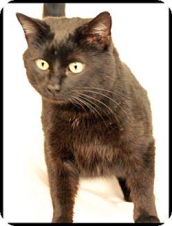 Domestic Shorthair Cat for adoption in Newland, North Carolina - Marley