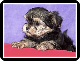 Maltese/Yorkie, Yorkshire Terrier Mix Puppy for adoption in Covina, California - Mickey