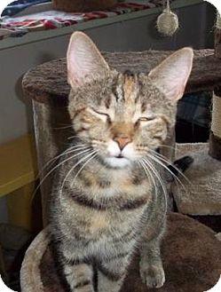 Domestic Shorthair Cat for adoption in Ashland, Ohio - Cinder
