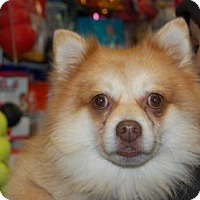 Adopt A Pet :: Pommie - Brooklyn, NY