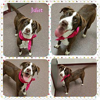 Spaniel (Unknown Type) Mix Puppy for adoption in Louisburg, North Carolina - Juliet