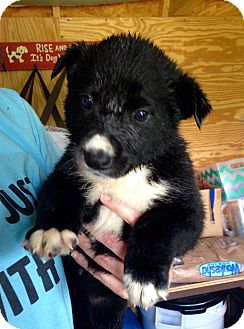 Labrador Retriever Mix Puppy for adoption in Morgantown, West Virginia - Brandi