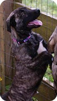 Basenji Mix Puppy for adoption in Staunton, Virginia - Miggy($!00 off adoption fee)