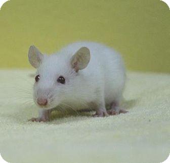 Rat for adoption in Benbrook, Texas - Cinnamon