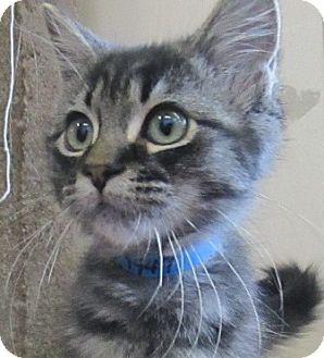 Domestic Mediumhair Kitten for adoption in Lloydminster, Alberta - McGee