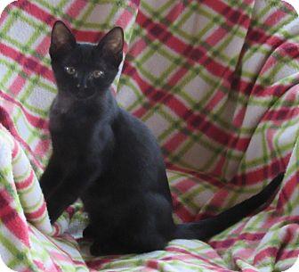 Domestic Shorthair Kitten for adoption in Glenwood, Minnesota - Scout
