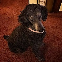 Adopt A Pet :: Curly Sue - Henderson, NV