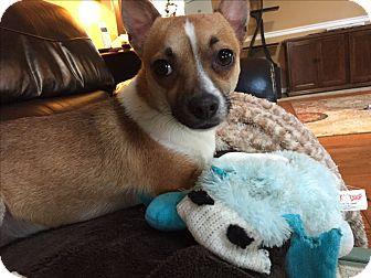 Chihuahua Mix Dog for adoption in Va Beach, Virginia - Chico