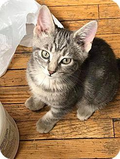 Domestic Shorthair Kitten for adoption in Toronto, Ontario - Sweet Pea