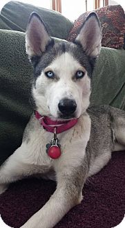 Husky Dog for adoption in Fort Atkinson, Wisconsin - Izzy