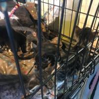 Adopt A Pet :: 35702932 - West Monroe, LA