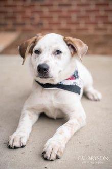 Australian Cattle Dog Mix Dog for adoption in Madison, Georgia - Dill