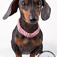 Dachshund Mix Dog for adoption in Lodi, California - Layla
