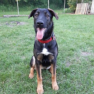 Great Dane/German Shepherd Dog Mix Puppy for adoption in Oakbank, Manitoba - DAPHNE