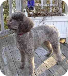 Poodle (Miniature) Dog for adoption in Naugatuck, Connecticut - Camille