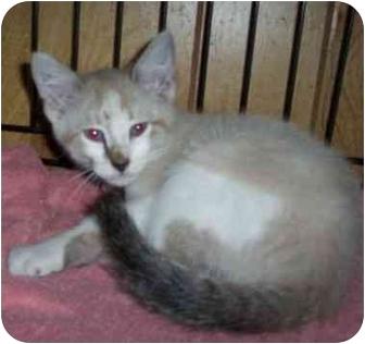 Domestic Shorthair Kitten for adoption in Marshfield, Missouri - Puff
