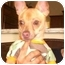 Photo 3 - Chihuahua Mix Dog for adoption in Coral Springs, Florida - Benny