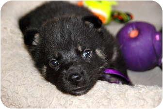 German Shepherd Dog Mix Puppy for adoption in Bloomington, Minnesota - Raven