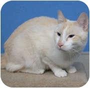 Siamese Cat for adoption in Anchorage, Alaska - Atticus