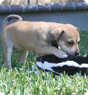 Beagle/Basenji Mix Puppy for adoption in La Habra Heights, California - Bambi