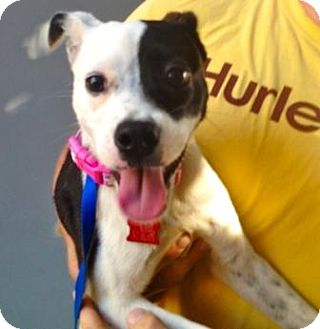 Jack Russell Terrier/Boston Terrier Mix Puppy for adoption in Houston, Texas - Penny Lane in Houston