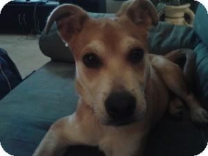 Labrador Retriever Mix Puppy for adoption in Lebanon, Maine - Mustache-LOCAL