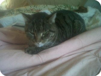 Domestic Shorthair Cat for adoption in Fairborn, Ohio - Gabriel