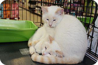 Siamese Kitten for adoption in Santa Monica, California - Mushu