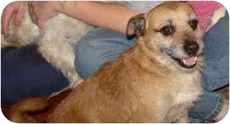 Cairn Terrier Mix Dog for adoption in Portsmouth, Rhode Island - Humperdink