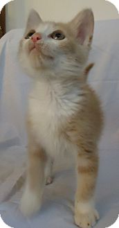 Domestic Shorthair Kitten for adoption in Speedway, Indiana - Andy