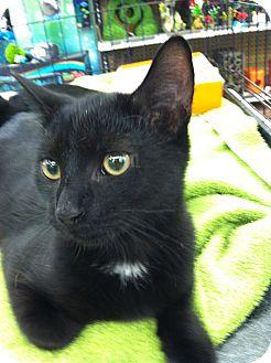 Domestic Shorthair Kitten for adoption in Fredericksburg, Virginia - Coal
