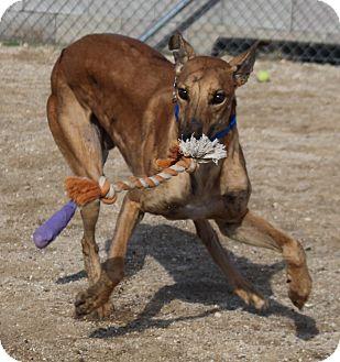 Greyhound Dog for adoption in Tucson, Arizona - Nick